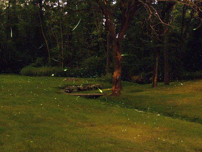 Lightning bugs, doing their thing